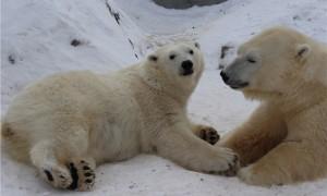 Забавные брачные игры белых медведей в Красноярске сняли на видео