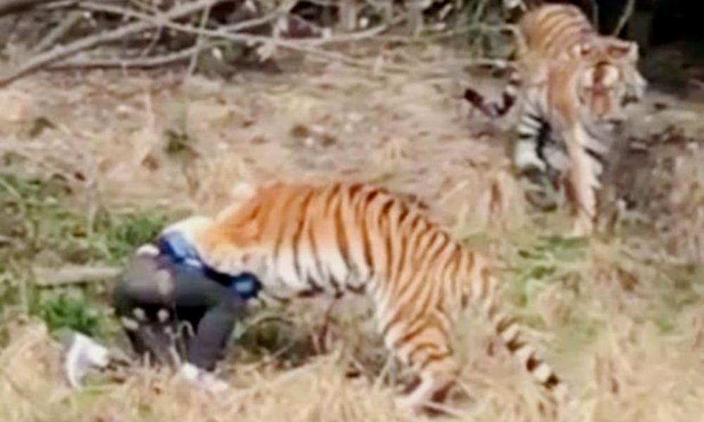 Расправа тигра над посетителем зоопарка в Китае попала на видео