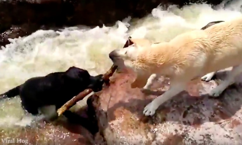 Лабрадор извлек друга избурной реки при помощи палки