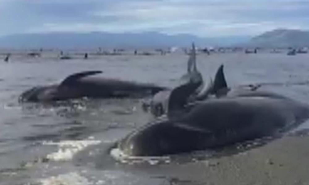 Сотни дельфинов выбросились на берег в Новой Зеландии