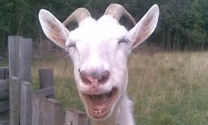 Звенящую бубенцами «Мурку» козу хозяин выставил на продажу в Интернете за «миллион с хвостиком»