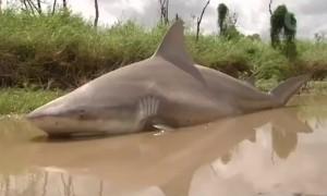 В Австралии ураган Дебби вынес акулу на проезжую часть