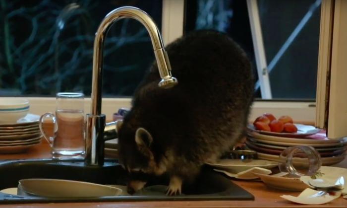 Опубликовано видео, как в Казахстане енот забрался в дом и ополоснул в раковине всю посуду