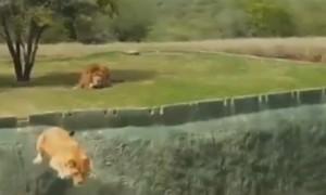 Львица пыталась прыгнуть на туристов в сафари-парке, но сорвалась в канаву