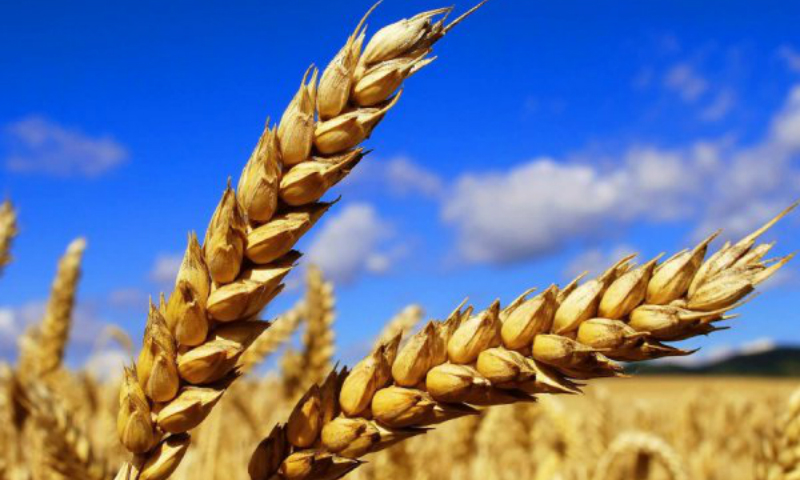 Минсельхоз озвучил размер назначенных Турцией пошлин на пшеницу, растительное масло и рис из России