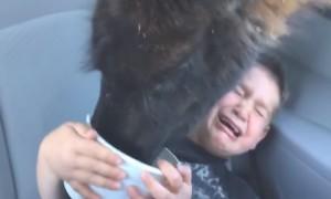 В американском сафари-парке голодная лама довела ребенка до истерики, видео снял его отец