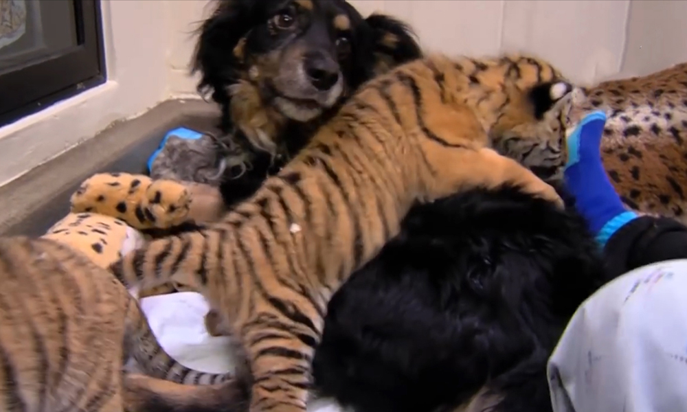 Австралийская овчарка стала мамой для редких тигрят