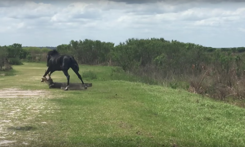 Опубликовано видео вероломного нападения бесстрашного коня на аллигатора во Флориде