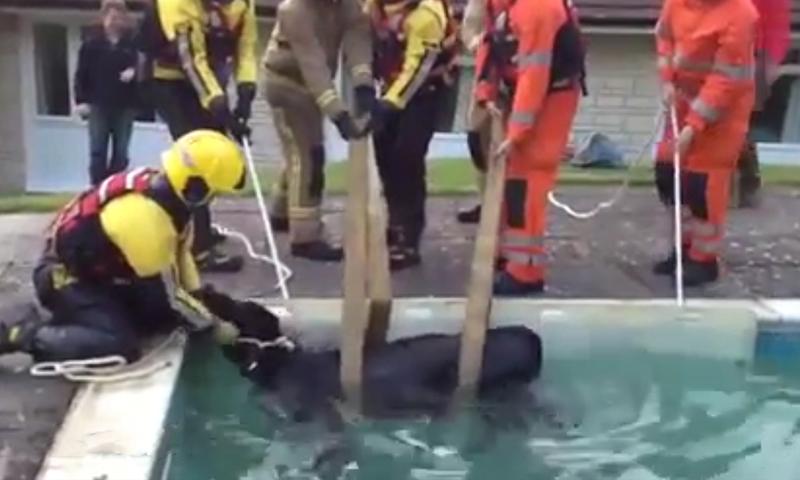 В Британии спасателям пришлось вылавливать корову из бассейна