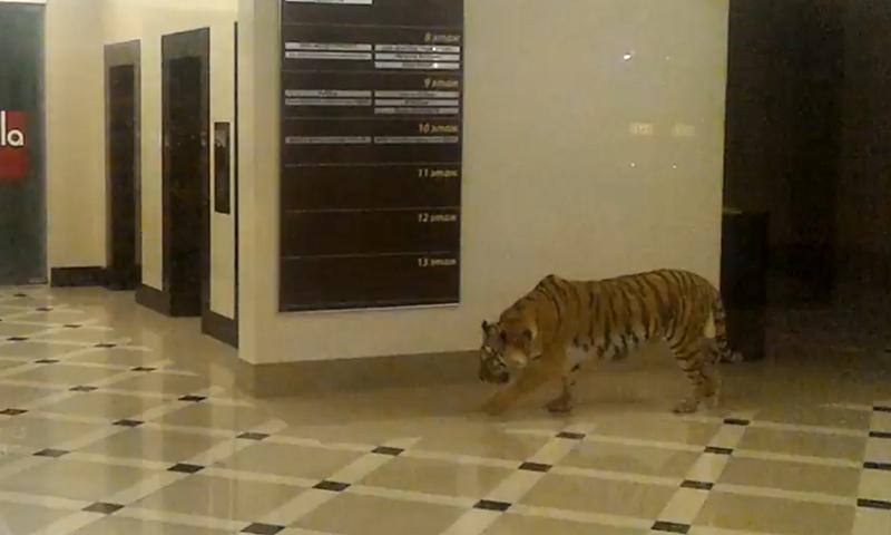 В Хабаровске тигр гулял по торговому центру