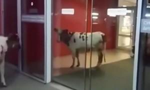 Жителей Сургута удивили пасущиеся в торговом центре коровы