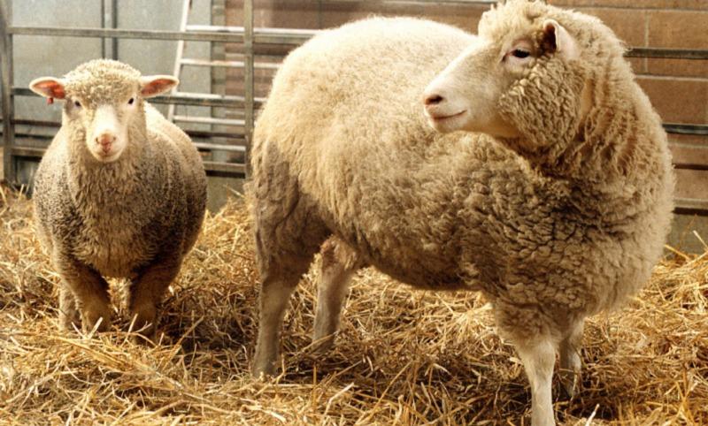 Видео с родившейся с зубами в ухе овцой-мутантом