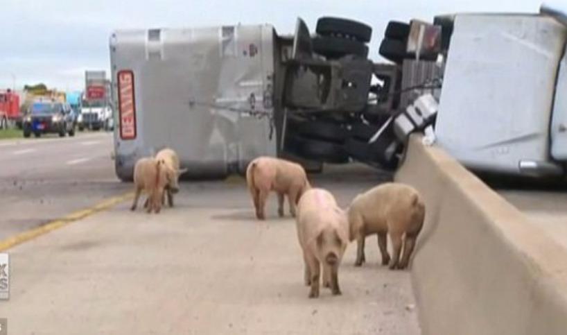 200 свиней пустились в бега после аварии грузовика