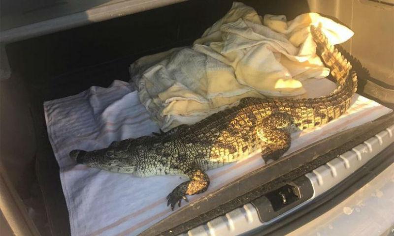 Выгулявший крокодила мужчина задержан в Новороссийске