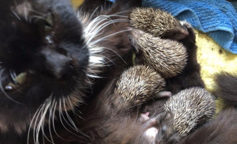 Кошка Муся усыновила восемь ежат-сирот в зоопарке Владивостока