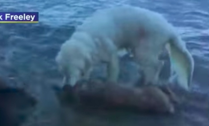 Собака по кличке «Шторм» спасла тонущего в море олененка