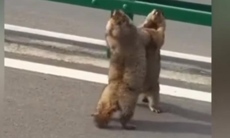 Видео драки двух гигантских сурков на дороге развеселила Сеть
