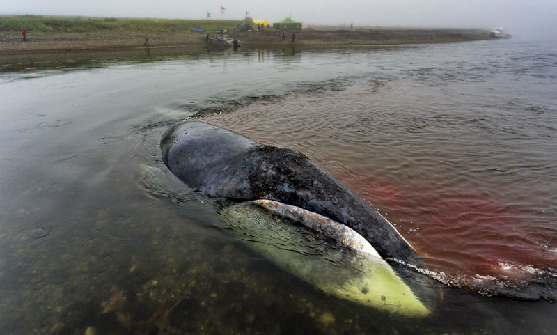 Китенок гибнет на мели в Хабаровском крае