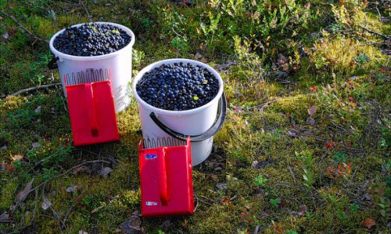 37 украинцев, приехавших на сбор ягод, таинственно пропали в Финляндии