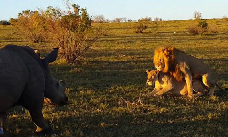Секс двух львов прервал бесцеремонный носорог