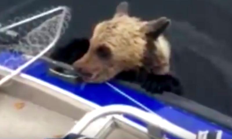 Тонущего медвежонка спасли рыболовы вКарелии