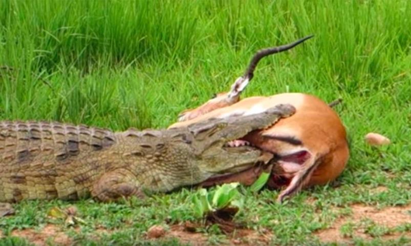 Благородный крокодил отпустил пойманную на обед антилопу