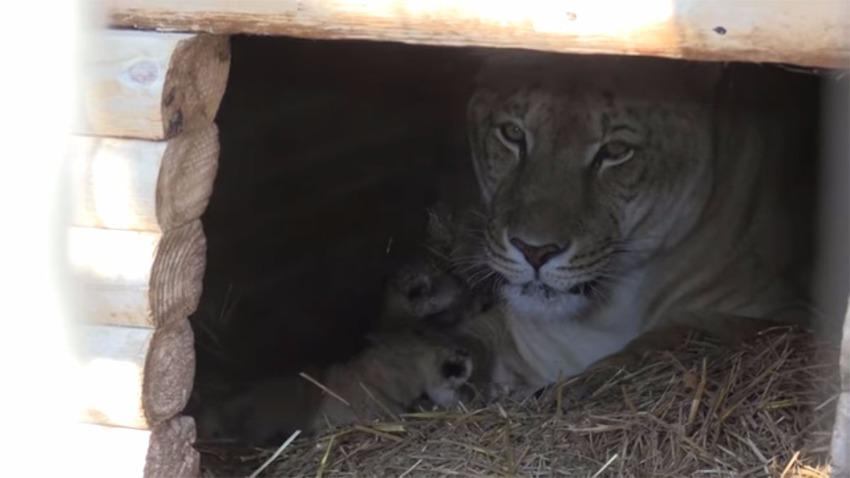 Первые в мире гибридные хищники-мальчики родились в зоопарке