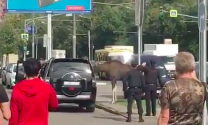 Московские полицейские отловили заблудившегося у метро лося