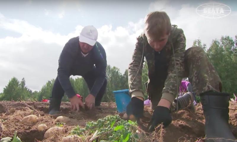 На ТВ едко высмеяли сбор картошки Лукашенко и его сыном