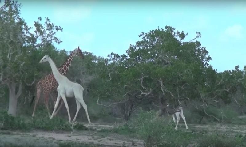 Сенсация: в Кении на видео попали белые жирафы