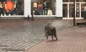 Нападение агрессивных кабанов на магазин в Германии сняли камеры наблюдения