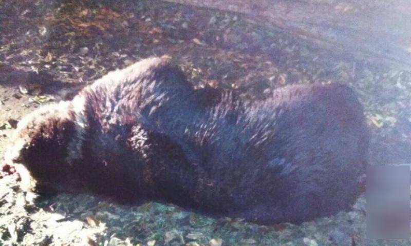 Медведь напал на подростка в Нижнеудинске и был застрелен