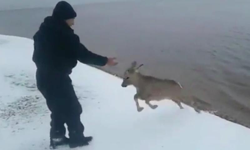 Безрогий олененок попытался забодать мужчину в Якутии