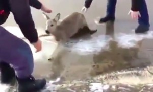 Истошно вопящую косулю спасли из водоема и сделали ей массаж