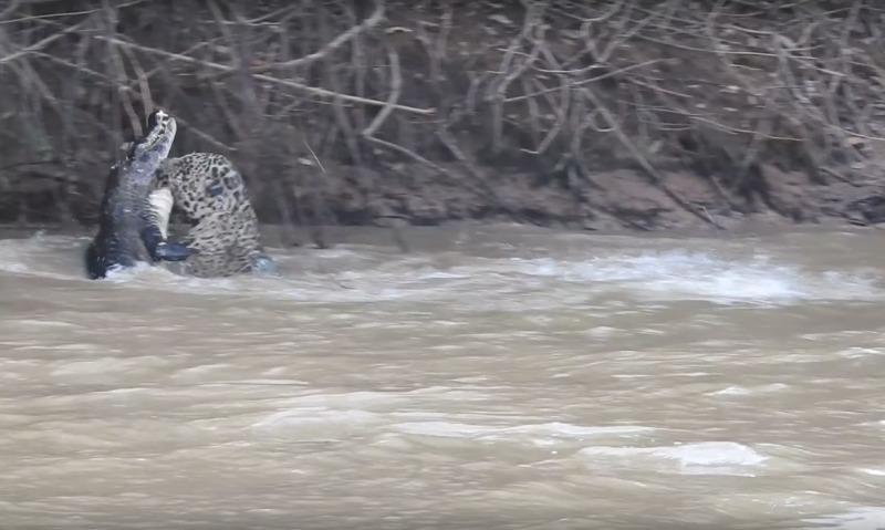 Видео смертельной схватки ягуара саллигатором появилось вweb-сети интернет