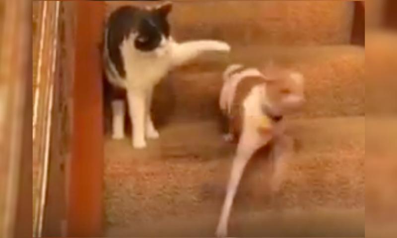 Кошка ударом лапы врубила собаке