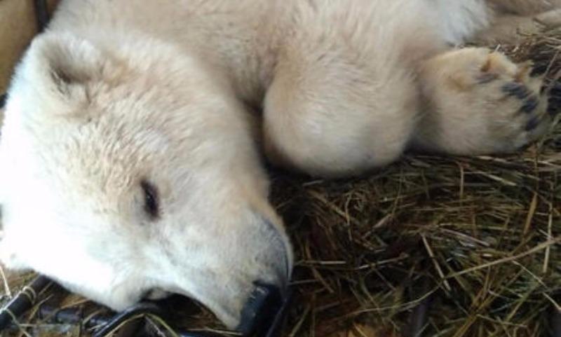 Спасенную от смерти в Якутии молодую медведицу привезли в Подмосковье