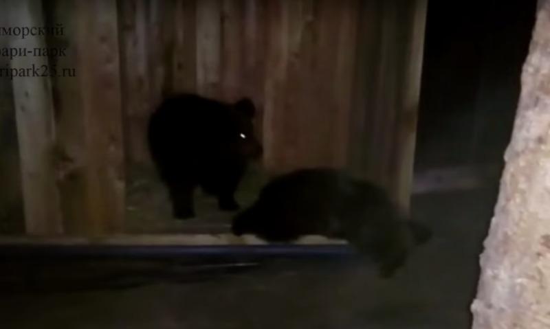 Медвежата-сироты Маша и Миша поселились в Приморском сафари-парке
