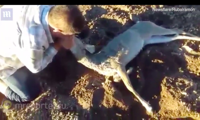 Мужчина спас олененка, проделав искусственное дыхание «изо рта в рот»