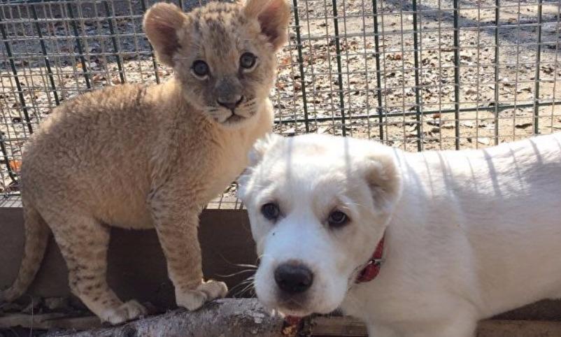 Родившиеся в один день львица Астра и овчарка Эльза подружились во Владивостоке