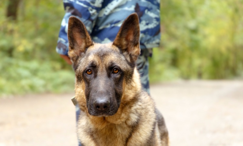 «Неправильная» собака помогла полиции найти вместо оружия наркотики