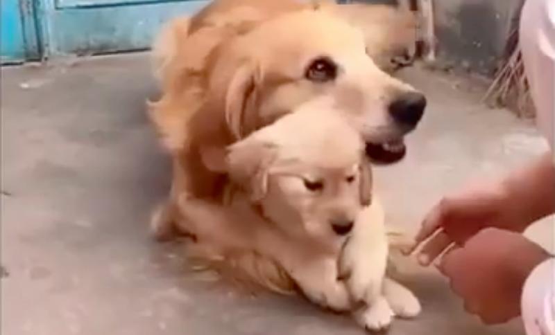 Видео трогательной заботы золотистого ретривера о щенке умилило пользователей Сети