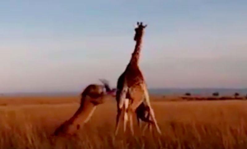 Битва жирафа и льва с трагическим исходом попала на видео