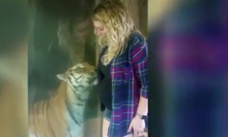 Трогательное видео тигрицы, прильнувшей в животу беременной женщины, стало хитом Интернета