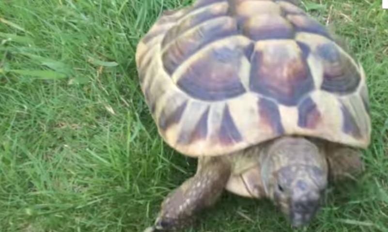 Быстрая и злая: «сторожевая черепаха» Тимми покорила Интернет
