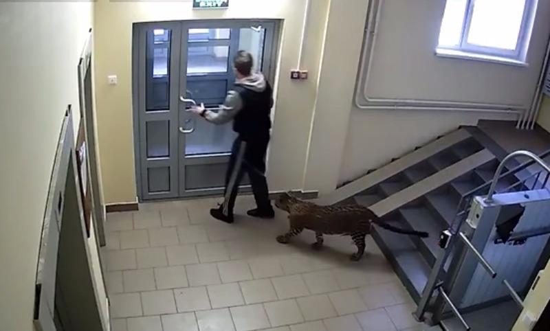 ВНижнем Новгороде мужчина выгуливал леопарда надетской площадке