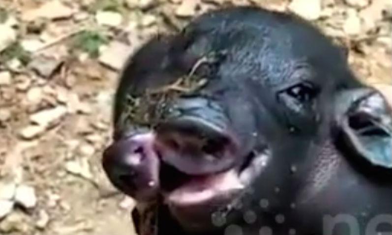 Чудовищный двухголовый поросенок с восемью ногами родился на свиноферме в Китае