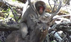 Японские макаки замечены в сексе с оленями