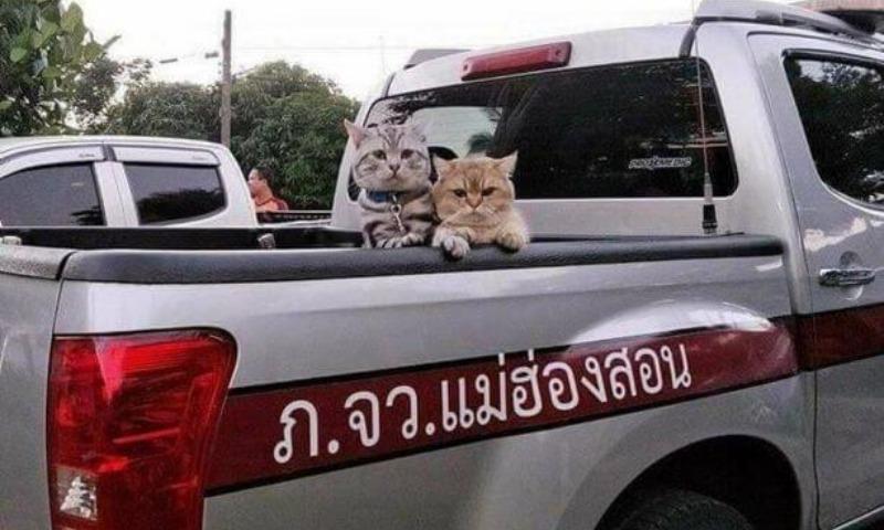 В Таиланде участников крутой кошачьей разборки забрали в