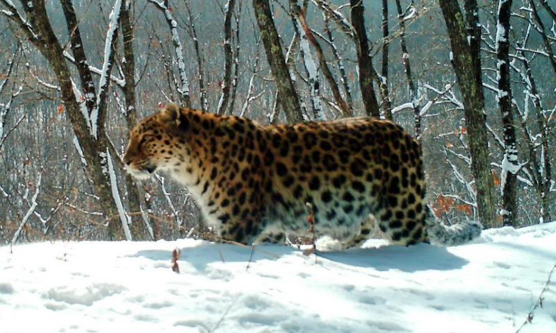Самая редкая крупная кошка мира попала на видео в Приморье